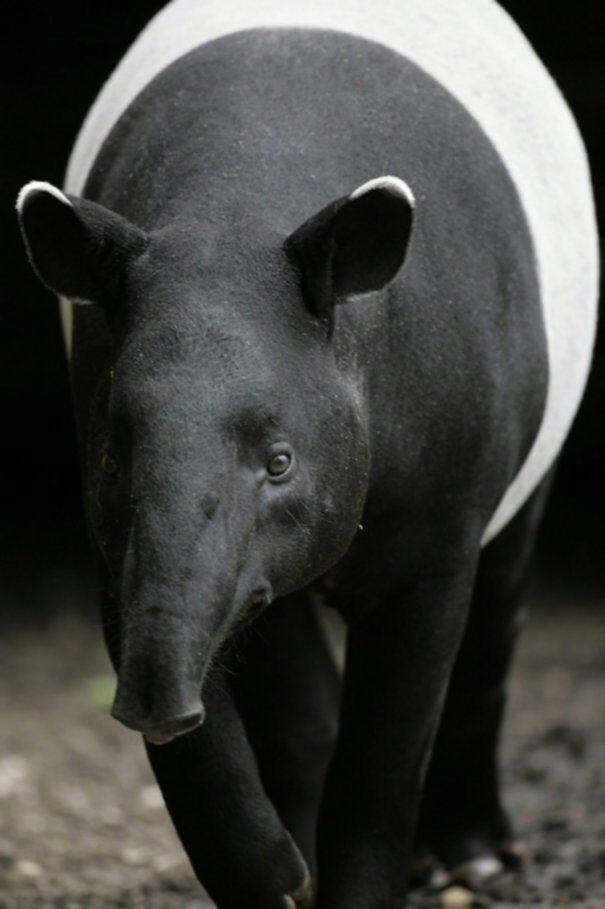tapir20chepr201-9008457