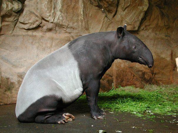 tapir20chepr202-6984718