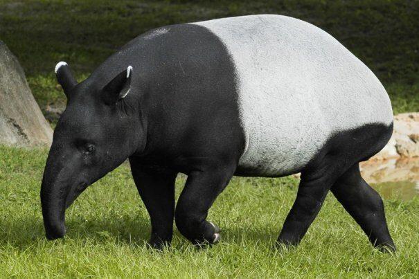 tapir20chepr203-3786748