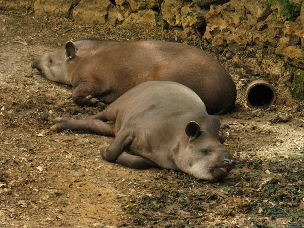 tapir20gor202-4011947