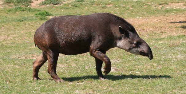 tapir20gor203-3533641