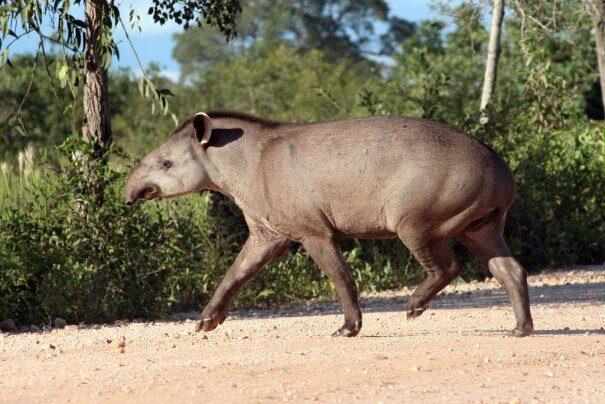 tapir20ravn203-9026044