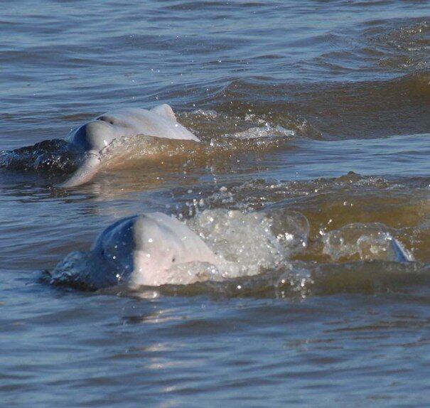 delfin20amazon203-5346674