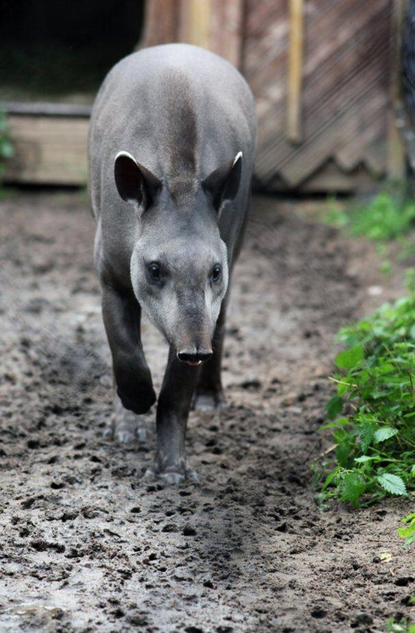 tapir20centr201-7671494