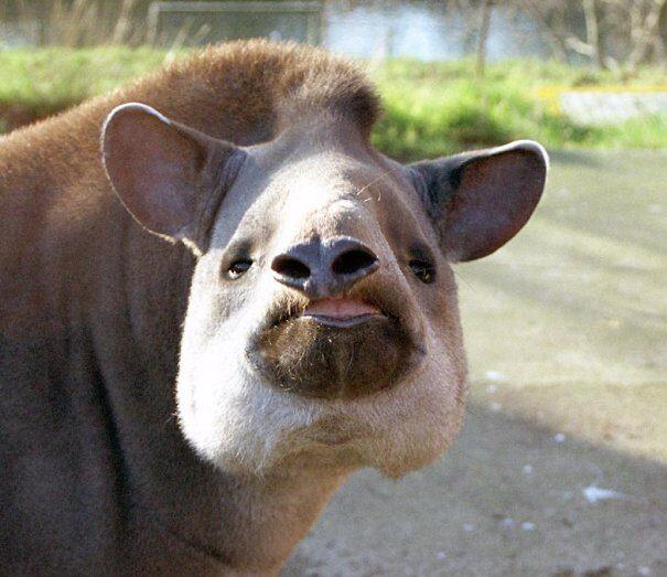tapir20centr202-3452766