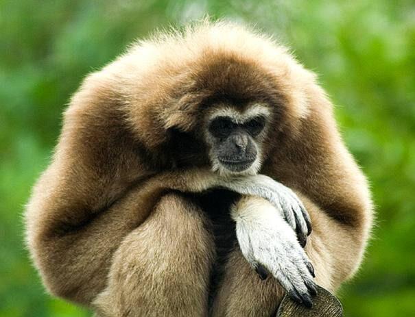 gibbon-gibao-hylobates-lar