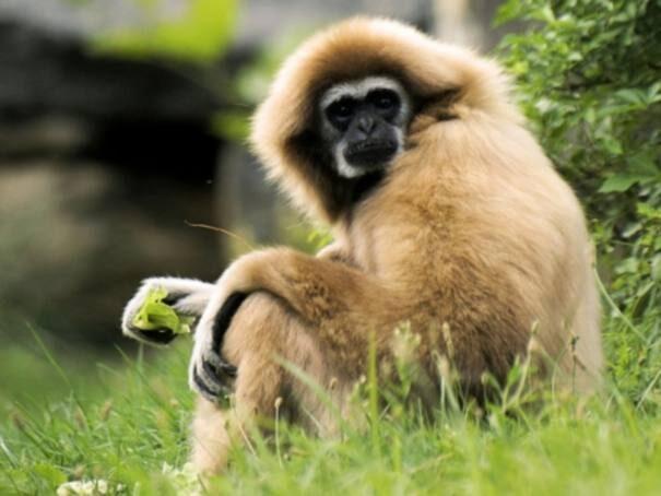 gibbon20biloryc202-6075697