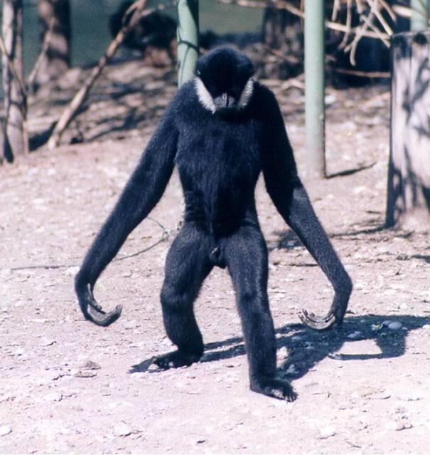 gibbon20cornoryk201-1219660