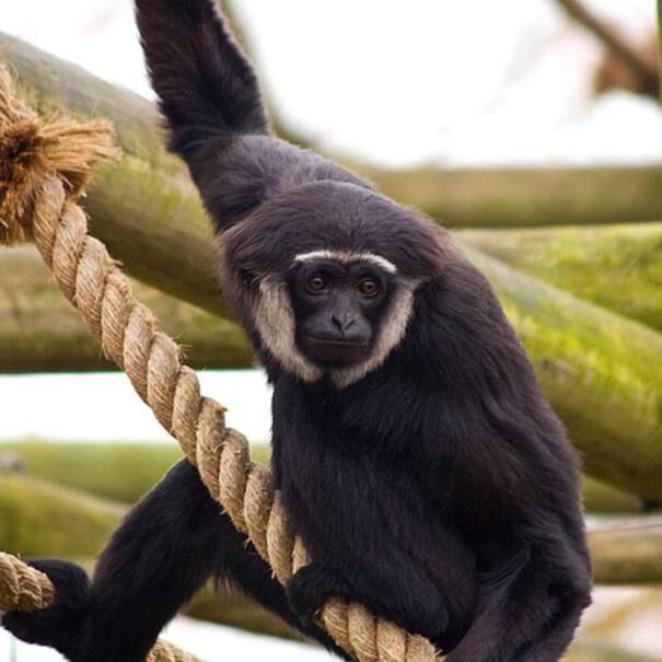 gibbon20cornoryk203-2065545