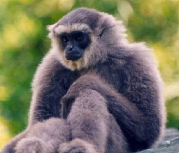 gibbon20serebrist201-9955049