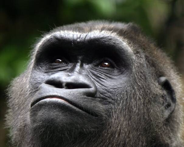 gorilla-looking-up-in-the-sky