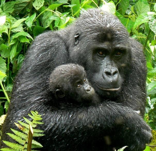 gorilla202-8484126