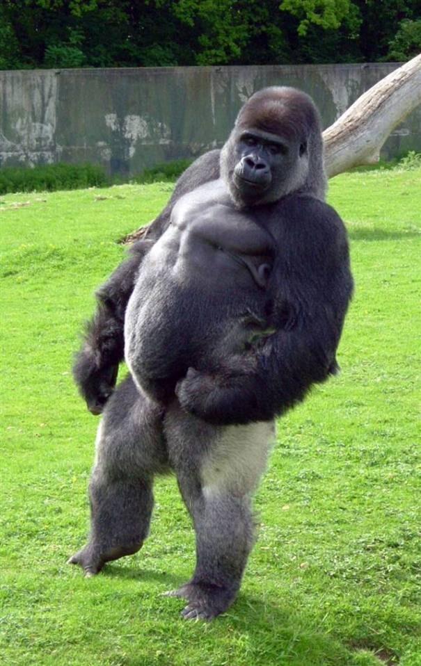 gorilla203-4095404