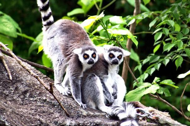 lemur20lascovid201-4280753