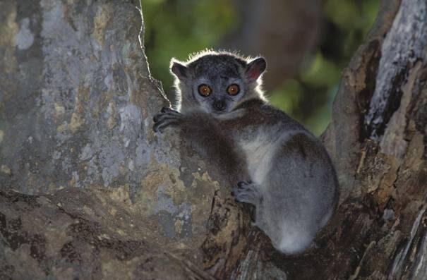 lemur20lascovid202-6750130