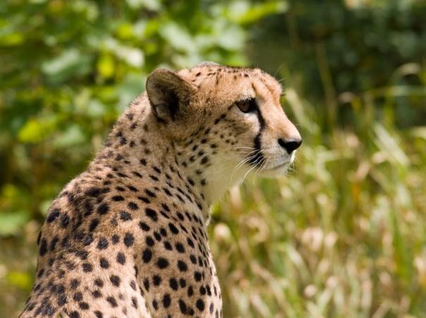 gepard201-3436370
