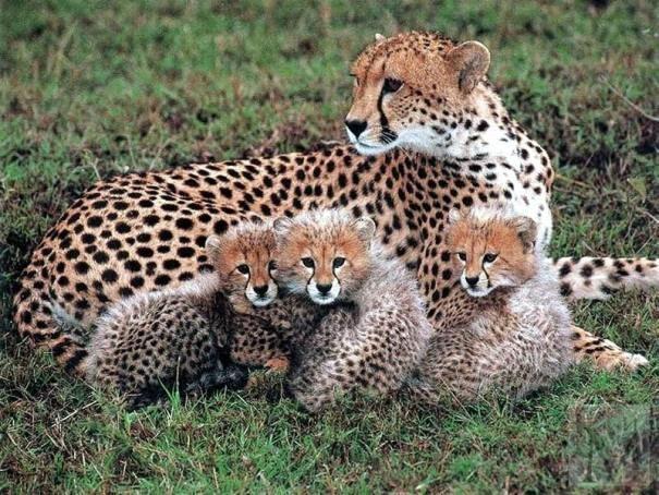 gepard203-8288186