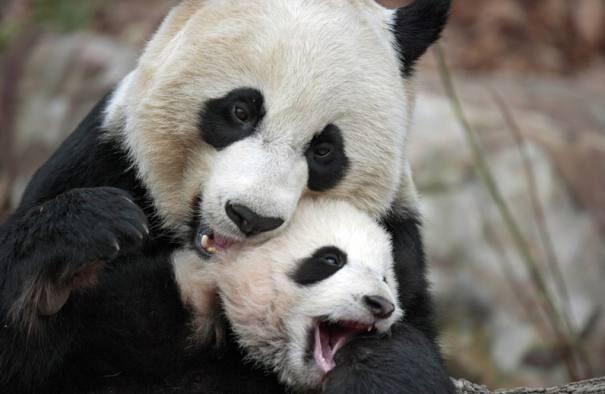 panda201-3566101