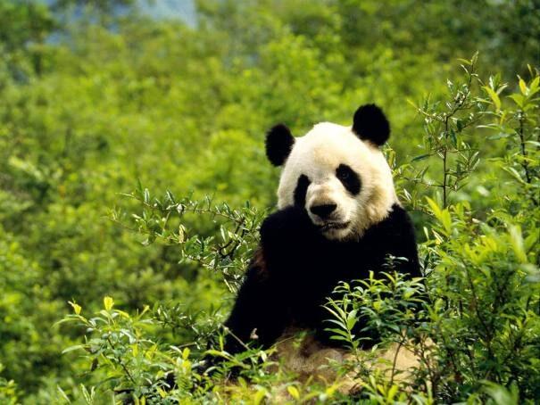 panda203-6034792