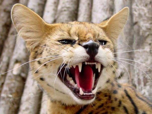 serval201-7887889