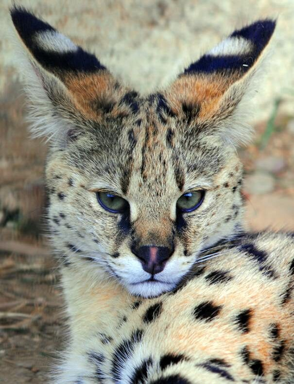 serval202-1548898