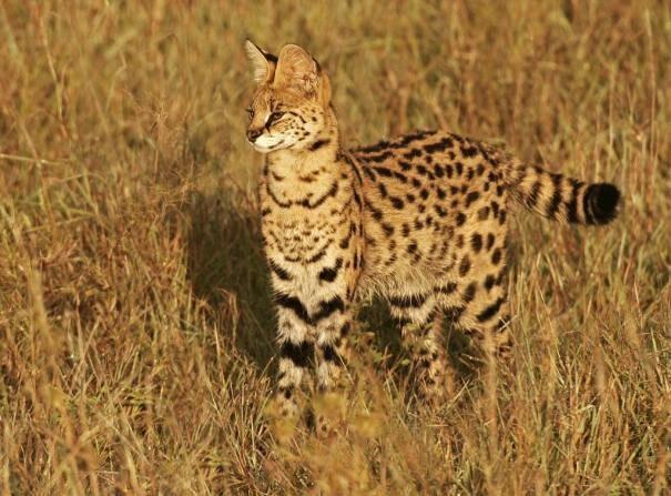 serval203-1697042