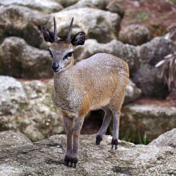 antilopa-prigyn1-2539859