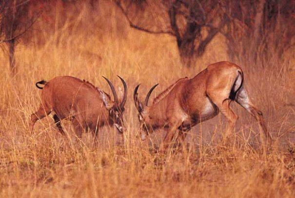 antilopa20loshadinaya2-1018484