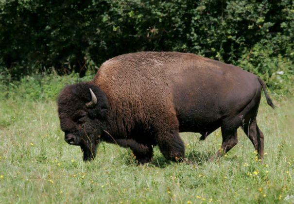 bizon-americky1-7233435