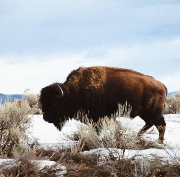 bizon-americky2-3158029