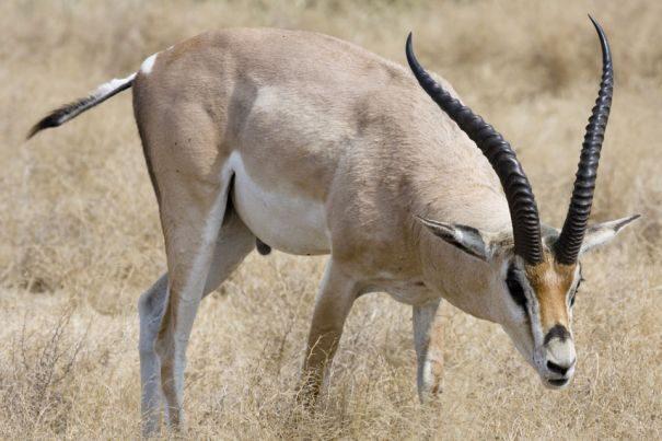 mannliche-grant-gazelle-im-ngorongoro-krater