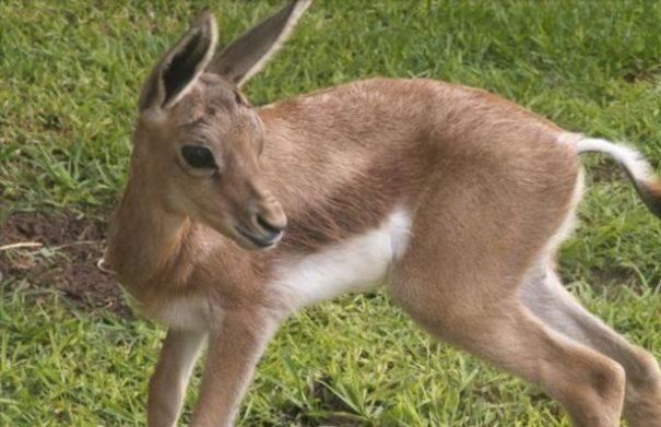 gazel-peschanaya2-8555070