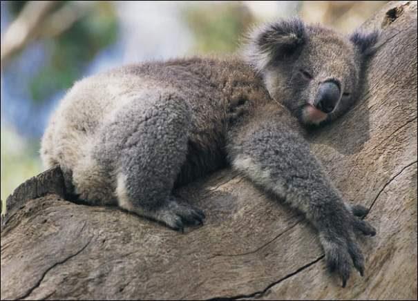koala201-4984145