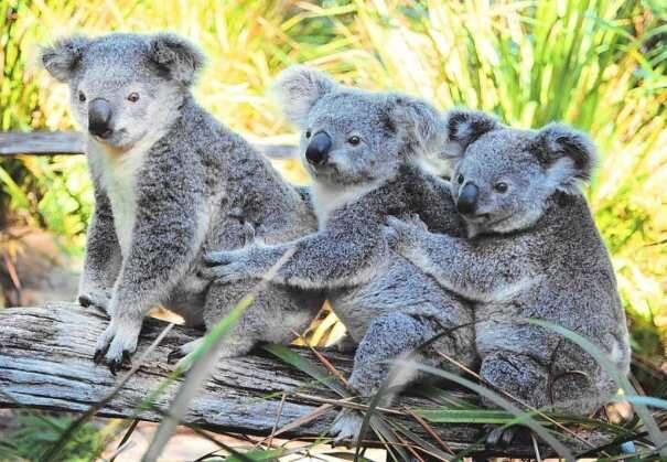 koala203-5916660