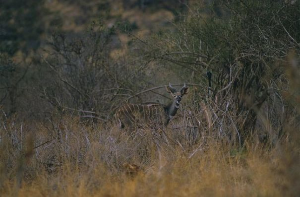 kudu-maliu3-8517933