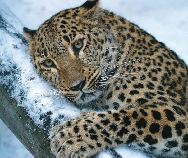 leopard201-7446107