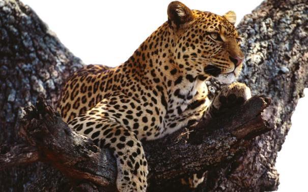 leopard202-7003428