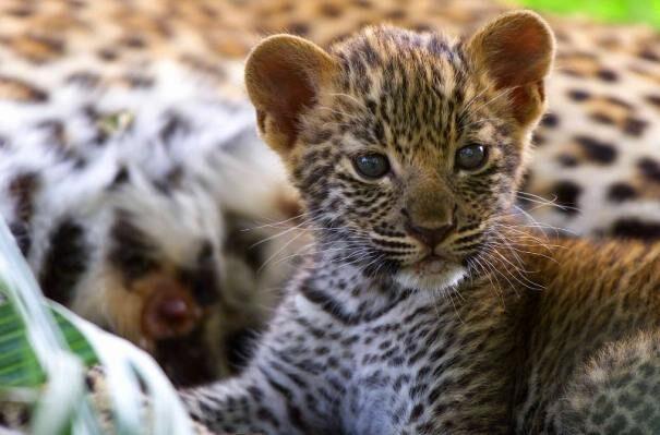 leopard203-7540499