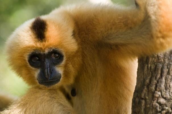 gibbon20odnocvet201-7025818