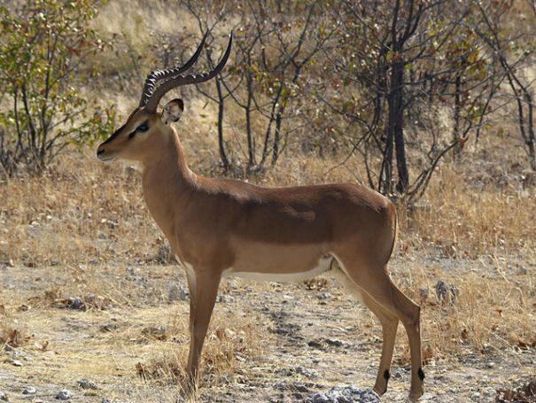 impala1-2059922