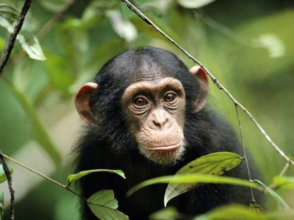 shimpanze201-9924035