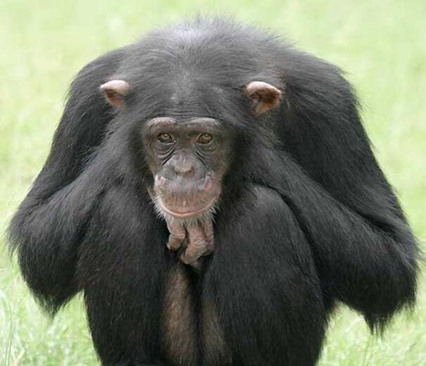 shimpanze203-9622373